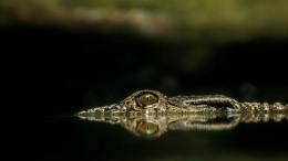 En krokodil som smyger under ytan